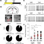 Timing of Morphine Administration Differentially Alters Paraventricular Thalamic Neuron Activity