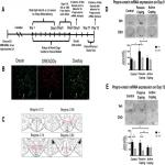 Reduced Orexin System Function Contributes to Resilience to Repeated Social Stress