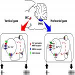 Different Activation Mechanisms of Excitatory Networks in the Rat Oculomotor Integrators for Vertical and Horizontal Gaze Holding