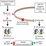 MicroRNA-137 Drives Epigenetic Reprogramming in the Adult Amygdala and Behavioral Changes after Adolescent Alcohol Exposure