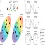 Tracking Down Nonresponsive Cortical Neurons in Cochlear Implant Stimulation