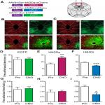 Divergent Modulation of Nociception by Glutamatergic and GABAergic Neuronal Subpopulations in the Periaqueductal Gray
