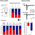 Comparisons of Neuronal and Excitatory Network Properties between the Rat Brainstem Nuclei that Participate in Vertical and Horizontal Gaze Holding
