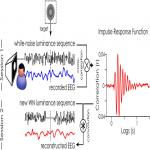 At What Latency Does the Phase of Brain Oscillations Influence Perception?