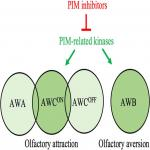 PIM-Related Kinases Selectively Regulate Olfactory Sensations in <em>Caenorhabditis elegans</em>