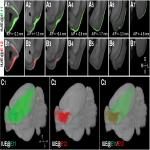 Topographically Distinct Projection Patterns of Early-Generated and Late-Generated Projection Neurons in the Mouse Olfactory Bulb