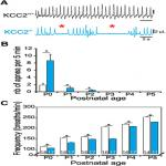 Role of the K<sup>+</sup>-Cl<sup>–</sup> Cotransporter KCC2a Isoform in Mammalian Respiration at Birth
