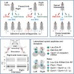 Left-Right Side-Specific Neuropeptide Mechanism Mediates Contralateral Responses to a Unilateral Brain Injury