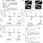 Excessive Formation and Stabilization of Dendritic Spine Clusters in the <em>MECP2</em>-Duplication Syndrome Mouse Model of Autism