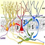 Semilunar Granule Cells Are the Primary Source of the Perisomatic Excitatory Innervation onto Parvalbumin-Expressing Interneurons in the Dentate Gyrus