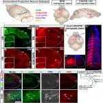 Caveolin1 Identifies a Specific Subpopulation of Cerebral Cortex Callosal Projection Neurons (CPN) Including Dual Projecting Cortical Callosal/Frontal Projection Neurons (CPN/FPN)