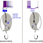 Bidirectional Control of Orienting Behavior by the Substantia Nigra Pars Reticulata: Distinct Significance of Head and Whisker Movements