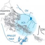 Targeted Activation of Cholinergic Interneurons Accounts for the Modulation of Dopamine by Striatal Nicotinic Receptors
