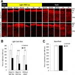 Photoreceptor cKO of OTX2 Enhances OTX2 Intercellular Transfer in the Retina and Causes Photophobia