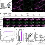 AMPA Receptors Exist in Tunable Mobile and Immobile Synaptic Fractions <em>In Vivo</em>