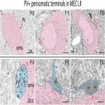 Development of Parvalbumin-Expressing Basket Terminals in Layer II of the Rat Medial Entorhinal Cortex