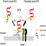 Heparan Sulfated Glypican-4 Is Released from Astrocytes by Proteolytic Shedding and GPI-Anchor Cleavage Mechanisms