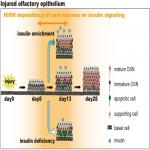 Insulin-Dependent Maturation of Newly Generated Olfactory Sensory Neurons after Injury