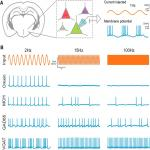 Fast and Slow Oscillations Recruit Molecularly-Distinct Subnetworks of Lateral Hypothalamic Neurons <em>In Situ</em>
