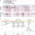 Development and Organization of the Evolutionarily Conserved Three-Layered Olfactory Cortex