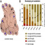 Morphological and Phagocytic Profile of Microglia in the Developing Rat Cerebellum