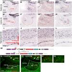 GAD2 Expression Defines a Class of Excitatory Lateral Habenula Neurons in Mice that Project to the Raphe and Pontine Tegmentum