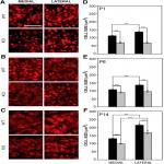 Developmental Emergence of Phenotypes in the Auditory Brainstem Nuclei of <em>Fmr1</em> Knockout Mice