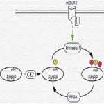 Mammalian FMRP S499 Is Phosphorylated by CK2 and Promotes Secondary Phosphorylation of FMRP