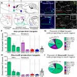 Combinatorial Expression of <em>Grp</em> and <em>Neurod6</em> Defines Dopamine Neuron Populations with Distinct Projection Patterns and Disease Vulnerability