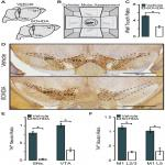 Reduced Dopamine Signaling Impacts Pyramidal Neuron Excitability in Mouse Motor Cortex