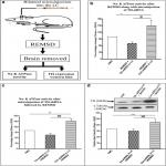 Noradrenaline from Locus Coeruleus Neurons Acts on Pedunculo-Pontine Neurons to Prevent REM Sleep and Induces Its Loss-Associated Effects in Rats