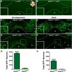 Identification of Neurotensin Receptor Expressing Cells in the Ventral Tegmental Area across the Lifespan
