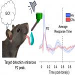 Evoked Frontal and Parietal Field Potential Signatures of Target Detection and Response Inhibition in Rats Performing an Equiprobable Auditory Go/No-Go Task