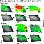 Cortical Activation Patterns Evoked by Temporally Asymmetric Sounds and Their Modulation by Learning