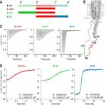 Sequences Flanking the Gephyrin-Binding Site of GlyRβ Tune Receptor Stabilization at Synapses