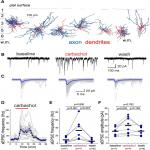 Cell Type- and Layer-Specific Muscarinic Potentiation of Excitatory Synaptic Drive onto Parvalbumin Neurons in Mouse Prefrontal Cortex