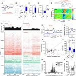 Temporal Processing in the Visual Cortex of the Awake and Anesthetized Rat