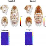 Sex Differences in Cognitive Flexibility and Resting Brain Networks in Middle-Aged Marmosets