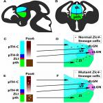 <em>Zic4</em>-Lineage Cells Increase Their Contribution to Visual Thalamic Nuclei during Murine Embryogenesis If They Are Homozygous or Heterozygous for Loss of <em>Pax6</em> Function