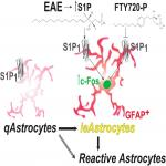 A Functionally Defined <em>In Vivo</em> Astrocyte Population Identified by c-Fos Activation in a Mouse Model of Multiple Sclerosis Modulated by S1P Signaling: Immediate-Early Astrocytes (<em>ieAstrocytes</em>)